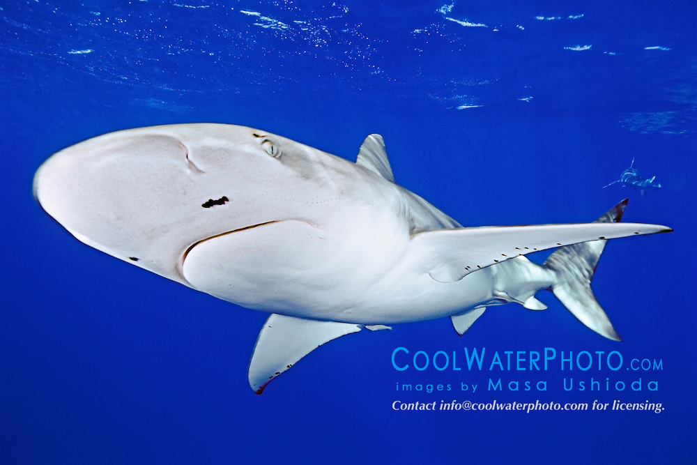Galapagos shark, Carcharhinus galapagensis, with parasitic copepods, offshore, North Shore, Oahu, Hawaii, USA, Pacific Ocean
