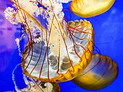 Pacific sea nettles (Chrysaora fuscescens) undulate hypnotically in a blue tank at Oregon Coast Aquarium, Newport, Oregon, USA.
