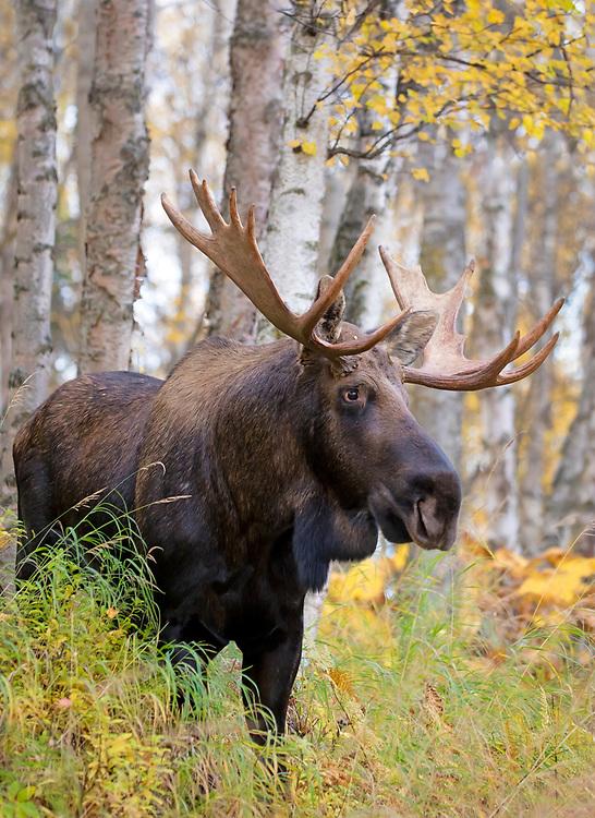 Alaska; Bull moose (Alces alces) standing among the autumn birches, Kincaid Park, Anchorage.