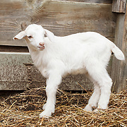20180206 Ellen Goats