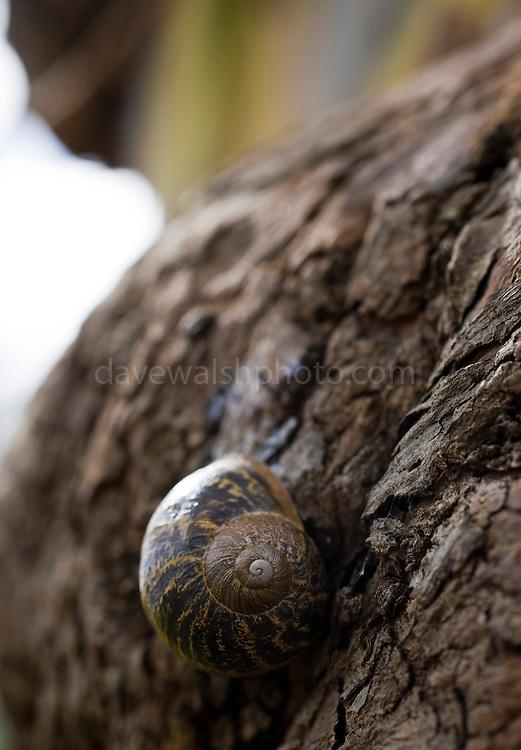 Snail on eucalyptus tree, National Botanic Gardens, Dublin..