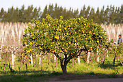 An orange tree in the vineyard at sunset. Vinedos y Bodega Filgueira Winery, Cuchilla Verde, Canelones, Montevideo, Uruguay, South America