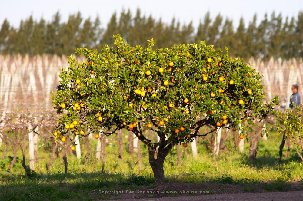 An orange tree in the vineyard at sunset. Vinedos y Bodega Filgueira Winery, Cuchilla Verde, Canelones, Montevideo, Uruguay, South America
