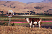 A cow stands on a hill overlooking a windmill and fields of flowers in Lompoc, California. USA.