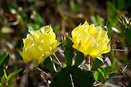 Cactaceae (Cactus Family)