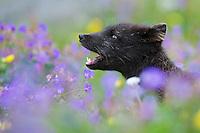 16.07.2008<br /> Arctic fox (Alopex lagopus) in a wild flower meadow, barking<br /> Hornstrandir, Iceland