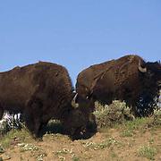 Bison, (Bison bison) Grazing in Hayden Valley in Yellowstone National Park.
