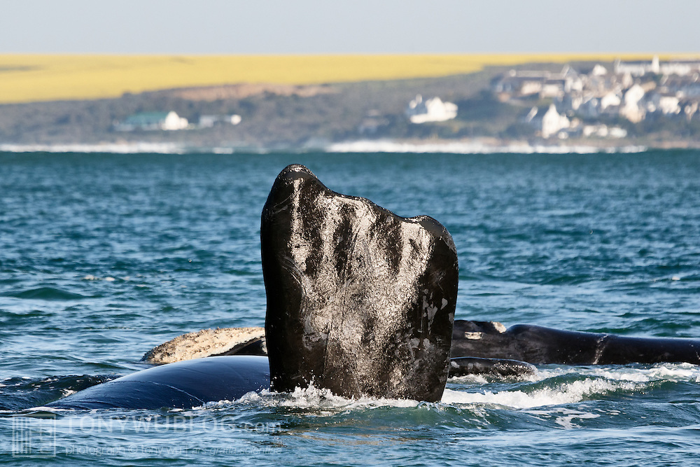 Southern right whale (Eubalaena australis) with pectoral fin raised above the ocean surface. This was a group of several whales, perhaps engaged in courtship/ mating activity. The whale with its pectoral fin in the air was the focal animal, which suggests there was a high probability it was female. Visible in the background are fields of canola, a major crop in South Africa. Photographed with the permission of the Department of Environmental Affairs, South Africa.