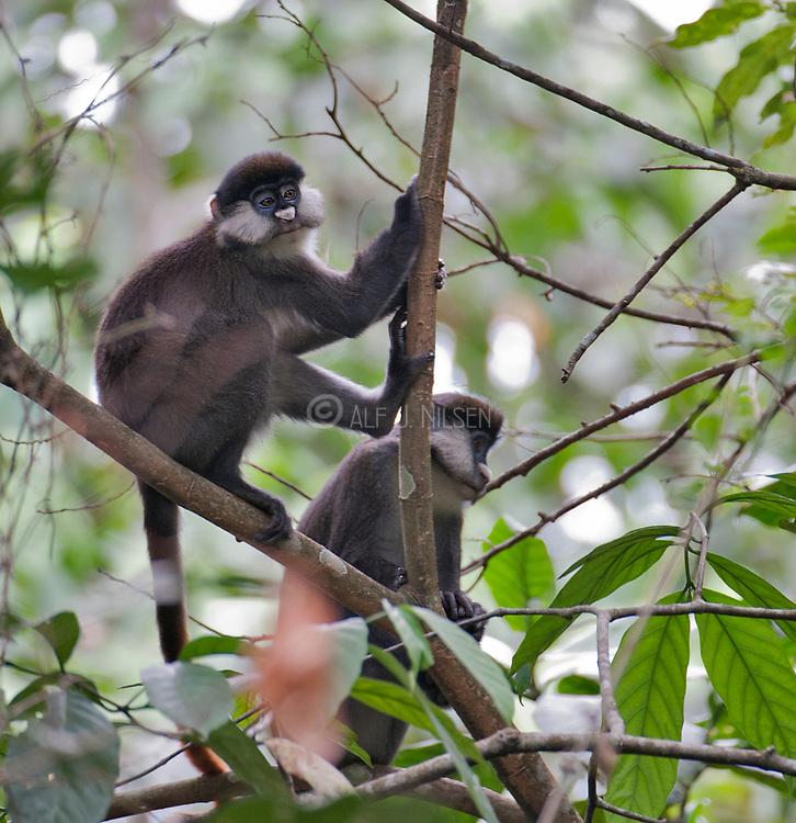 Red-tailed Monkey (Cercopithecus ascanius) from Kibale forest, Uganda.