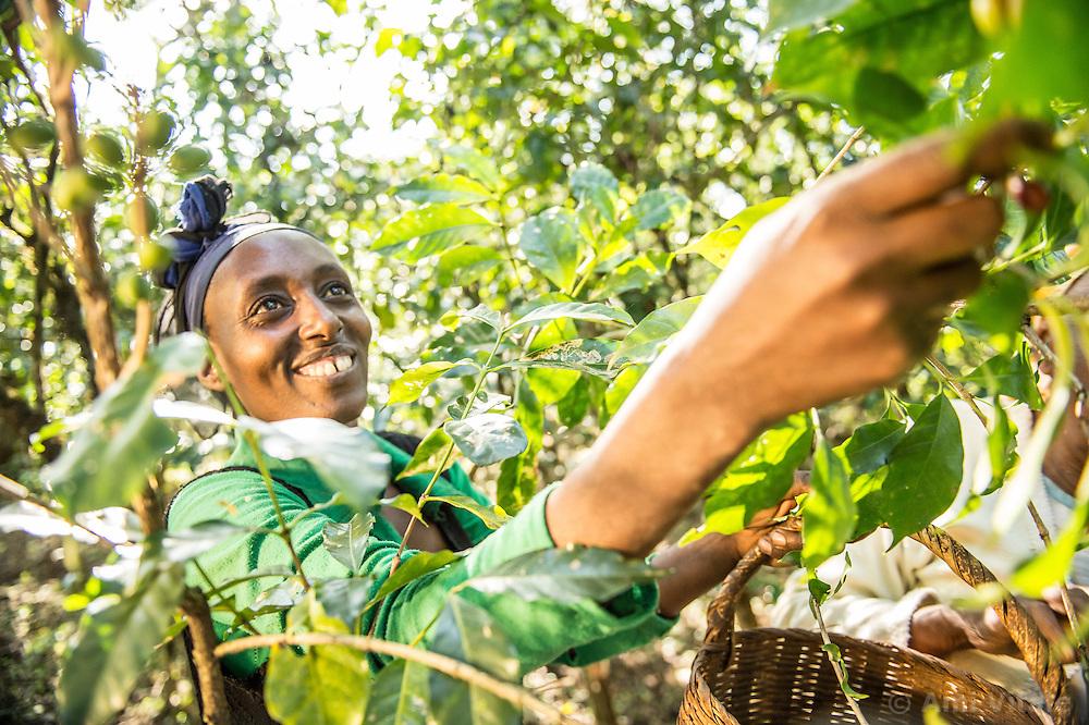 Fatima Sheikh Jamal picks coffee on her small plantation in Jimma, Ethiopia.