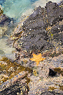 The Bahamian Starfish (Oreaster reticulatus) feeds on urchins and detritus in a shore side tidal pool at Hansen Beach on St. John, USVI.