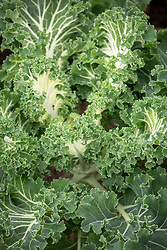 Kale 'Emerald Ice' - Brassica oleracea Acephala Group 'Emerald Ice'