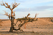 Dry parched tree in a desert landscape