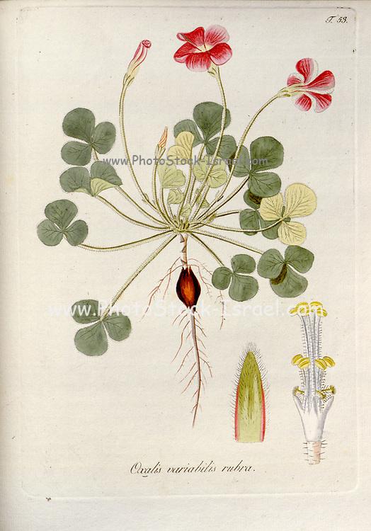 Woodsorrel (Oxalis variabilis rubra). Illustration from 'Oxalis Monographia iconibus illustrata' by Nikolaus Joseph Jacquin (1797-1798). published 1794