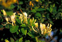 Stock photo of yellow honeysuckle on the vine
