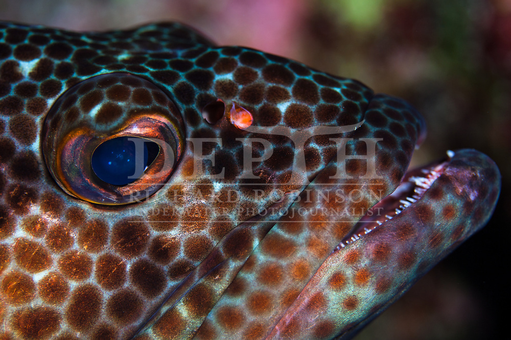 Epinephelus tauvina (Greasy Grouper) also known as the Arabian grouper at North Minerva Reef also known as Teleki Tokelau a disputed territory in the South Pacific between Tonga and Fiji.<br /> Monday 19 January 2015<br /> Photograph Richard Robinson © 2015