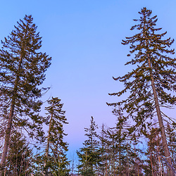 Spruce trees at dusk in the Witherle Woods Preserve in Castine, Maine in winter.
