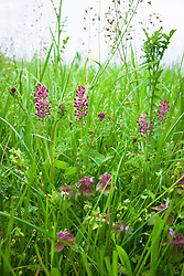 Common Fumitory growing in a field. Fumaria officinalis