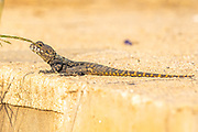 Stellagama (Stellagama stellio) AKA stellion, hardim, hardun, star lizard, painted dragon, starred agama, sling-tailed agama and roughtail rock agama. Basking in the sun on a rock, Israel. Stellagama is a monotypic genus of agamid lizard, containing the single species Stellagama stellio