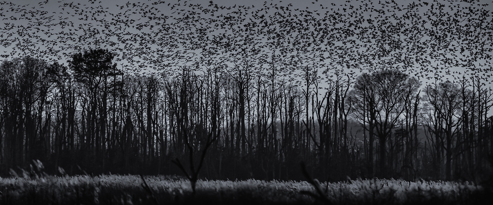 Snow Geese above stark trees, Fowler Beach, Milford, Delaware.