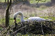 Female mute swan building her nest, Donnington, Gloucestershire, United Kingdom