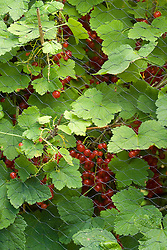 Redcurrants protected from birds by wire mesh
