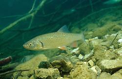 Leuciscus cephalus, Aitel, Döbel, European Chub, Freibach Stausee, Österreich, Austria