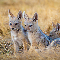 Black-backed Jackel Pups, Okovango Delta, Botswana
