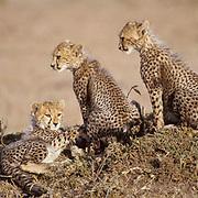 Cheetah, (Acinonyx jubatus) Cubs on Serengeti Plains. Masai Mara Game Reserve. Kenya. Africa.
