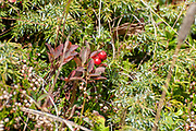 Red berries Photographed on Elfer Mountain, Stubai Valley, Tyrol, Austria in September