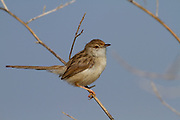 Graceful Prinia (Prinia gracilis) on a branch, Photographed in the Hefer Valley, israel
