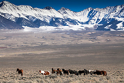 Band of mustangs roaming the high mountain valley's of Central Idaho. The Pahsimeroi Mountains towering above.