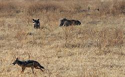 24-10-2008 REPORTAGE: KILIMANJARO CHALLENGE 2008: TANZANIA <br /> De dag van De Ngorongoro-krater, de grootste intakte caldera (ingestorte vulkaankegel) ter wereld. Hij bevindt zich ten noordwesten van Arusha in Tanzania / Wild, dieren, Natuur, vogels, Knobbelzwijn en wolf<br /> ©2008-FotoHoogendoorn.nl