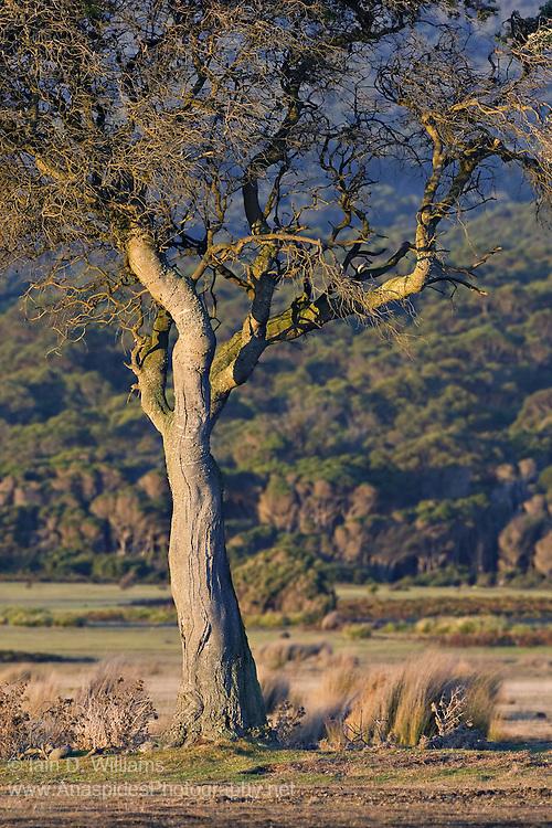Single Tree, Tasmania
