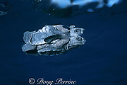 Kemp's ridley sea turtle hatchling, Lepidochelys kempii (c-r), Critically Endangered Species, Rancho Nuevo, Mexico ( Gulf of Mexico )