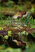 Jacana stretching wing & reflection - Amazonia, Peru