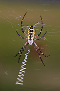 Black-and-yellow Argiope spider on web
