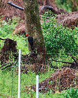 Pileated Woodpecker (Dryocopus pileatus). Image taken with a Nikon D4 camera and 500 mm f/4 VR lens