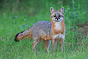 Gray Fox in Habitat