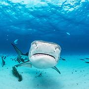Tiger shark (Galeocerdo cuvier) off Grand Bahama Island, Bahamas.