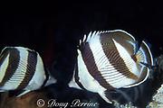 banded butterflyfish, Chaetodon striatus, Bahamas ( Western Atlantic Ocean )