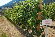 Vines. Savatiano vine variety. Biblia Chora Winery, Kokkinohori, Kavala, Macedonia, Greece