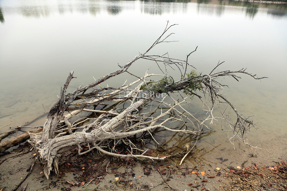 a dead tree at the edge of water