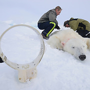 Dr Amstrup prepares to attach a GPS satellite tracking collar to an immobilized polar bear on the Beaufort Sea. The collars are placed on females exclusively since the necks of males get too large for them to work properly. The collars are a high tech way to follow these animals far out onto the ice where humans can't go. The bears are tracked by satellites which helps the scientists determine the home range of individual animals and other details about a particular bear's life such as length of time spent resting or hunting in one area.