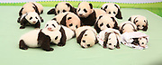 YA'AN, CHINA - SEPTEMBER 29: ((FINLAND OUT)<br /> <br /> Baby Pandas<br /> <br /> 14 baby pandas, all of whom were born this year, make debut at the China Conservation and Research Center for the Giant Panda on September 29, 2013 in Ya'an, Sichuan Province of China. <br /> ©Exclusivepix