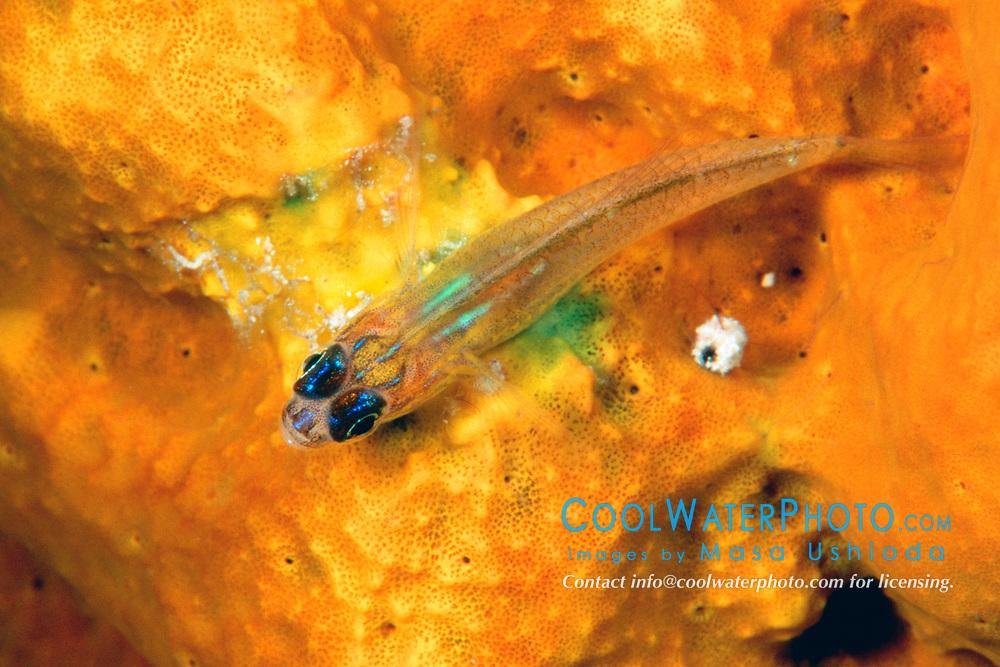 peppermint goby, Coryphopterus lipernes, on variable boring sponge, Siphonodictyon coralliphagum, Charlie's Reef, Cayman Brac, Cayman Islands, Caribbean Sea, Atlantic Ocean