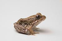 Green frog, Rana clamitans melanota.  Native to eastern United States.