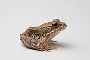 Green Frog, Rana clamitans melanota