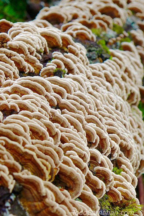 turkey tail mushroom bracket fungus medicine