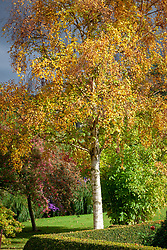 Betula ermanii - Gold birch - in autumn colour